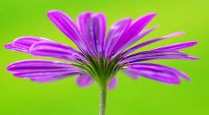 ゆっくりと花びらを広げる様子