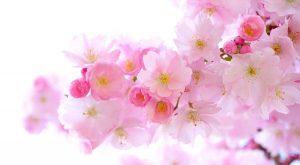 さくらの花、春の到来